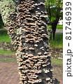 広葉樹の枯れ木に群生する「ハカワラタケ」 81746939