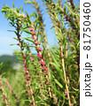 コキア(薄緑色の小花が咲く頃):赤い雄しべが飛び出した状態 81750460
