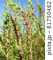 コキア(薄緑色の小花が咲く頃):赤い雄しべが飛び出した状態 81750462