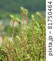 コキア(薄緑色の小花が咲く頃):赤い雄しべが飛び出した状態 81750464