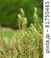 コキア(薄緑色の小花が咲く頃):赤い雄しべが飛び出した状態 81750465