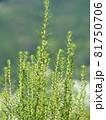 コキア(薄緑色の小花が咲く頃) 81750706