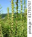 コキア(薄緑色の小花が咲く頃) 81750707