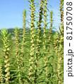 コキア(薄緑色の小花が咲く頃) 81750708
