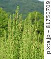 コキア(薄緑色の小花が咲く頃) 81750709