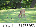 奈良公園の鹿 81783953
