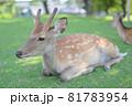 奈良公園の鹿 81783954