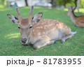 奈良公園の鹿 81783955