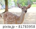 奈良公園の鹿 81783958