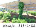 雑草が生い茂った太陽光発電所 つる植物 81841488