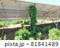 雑草が生い茂った太陽光発電所 つる植物 81841489