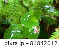 雨に濡れる葉 81842012