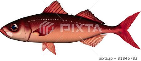 ハチビキ 魚イラスト ベクターEPS, png 81846783