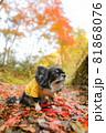 紅葉の落ち葉の上にいる黄色い服をきたロングコートチワワ 81868076