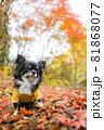紅葉の落ち葉の上にいる黄色い服をきたロングコートチワワ 81868077