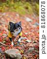 紅葉の落ち葉の上にいる黄色い服をきたロングコートチワワ 81868078