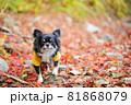 紅葉の落ち葉の上にいる黄色い服をきたロングコートチワワ 81868079