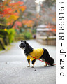 紅葉と黄色い服をきたロングコートチワワ 81868163
