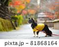 紅葉と黄色い服をきたロングコートチワワ 81868164