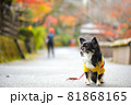 紅葉と黄色い服をきたロングコートチワワ 81868165