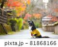 紅葉と黄色い服をきたロングコートチワワ 81868166