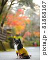 紅葉と黄色い服をきたロングコートチワワ 81868167