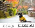紅葉と黄色い服をきたロングコートチワワ 81868168