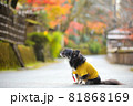紅葉と黄色い服をきたロングコートチワワ 81868169