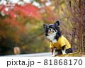 紅葉と黄色い服をきたロングコートチワワ 81868170