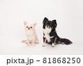 2頭仲良くお座りして飼い主の指示を待つチワワ 81868250