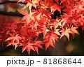 紅葉の秋まっ盛り 81868644