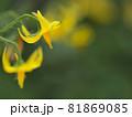 プチトマトの花のアップ 81869085