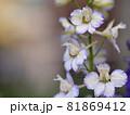 チドリソの花ノアップ 81869412