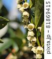 ヒサカキの花の縦構図 81869415