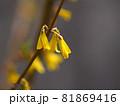 レンギョウの花おアップ 81869416