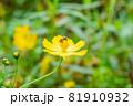 黄色のキバナコスモスとハナアブ、蜜を吸うハナアブとキバナコスモスのクローズアップ 81910932