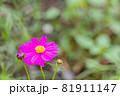 紫色のキバナコスモス、紫のキバナコスモスのクローズアップ 81911147