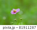 ピンク色のキバナコスモスと蜜蜂、ピンクのキバナコスモスのクローズアップ 81911287
