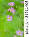 ピンク色のキバナコスモスと、ピンクのキバナコスモスたち、ピンクの花、 81911406