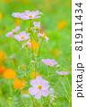 ピンク色とオレンジ色のキバナコスモスと、ピンクのキバナコスモスたち、ピンクの花、 81911434