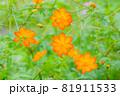 かわいいオレンジ色のキバナコスモス、オレンジのキバナコスモスたち、オレンジの花、 81911533