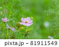 ピンク色のキバナコスモスと、ピンクのキバナコスモスたち、ピンクの花、 81911549