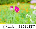 紫色のキバナコスモス、紫のキバナコスモスのクローズアップ 81911557