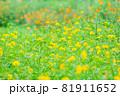 一面咲いている黄色のキバナコスモス畑、黄色のキバナコスモス、花畑の雰囲気 81911652