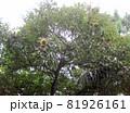 実の付いた栗の木 81926161