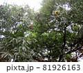 実の付いた栗の木 81926163