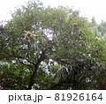 実の付いた栗の木 81926164