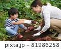 サツマイモを収穫する親子 81986258