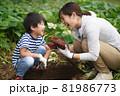 サツマイモを収穫する親子 81986773