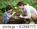 サツマイモを収穫する親子 81986775